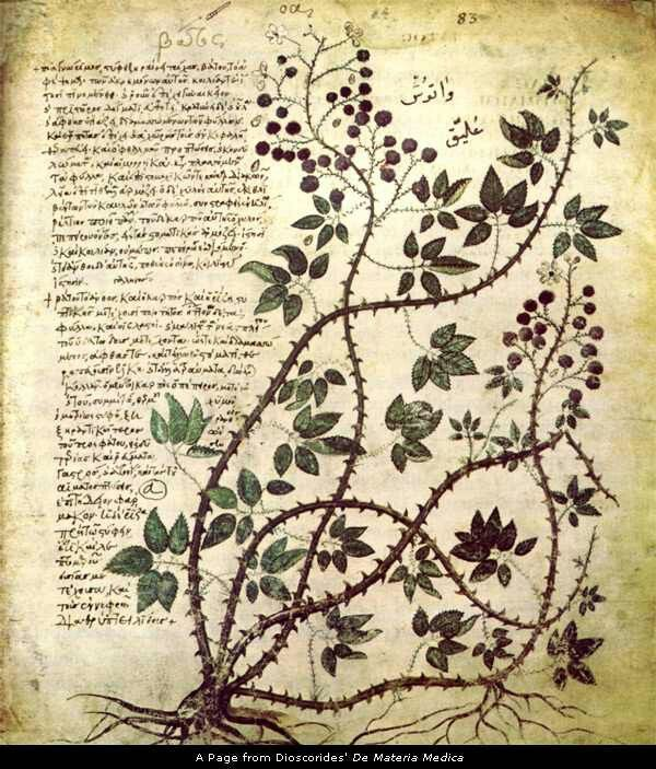 6th century copy of De Materia Medica by Dioscorides (40-60 CE), still a central text of early modern medicine